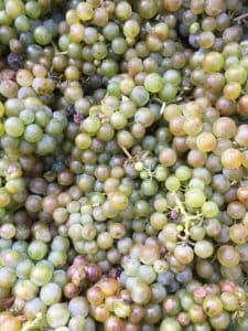 Wisconsin Vineyard Grapes