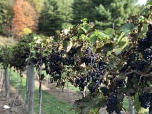 Pine Grove Vineyards